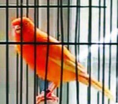 usaha peternakan burung kenari