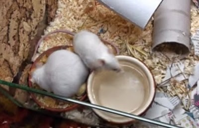 bisnis ternak tikus