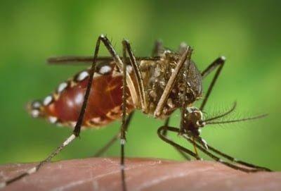 nyamuk penyebar virus zika