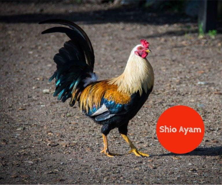 prediksi shio ayam