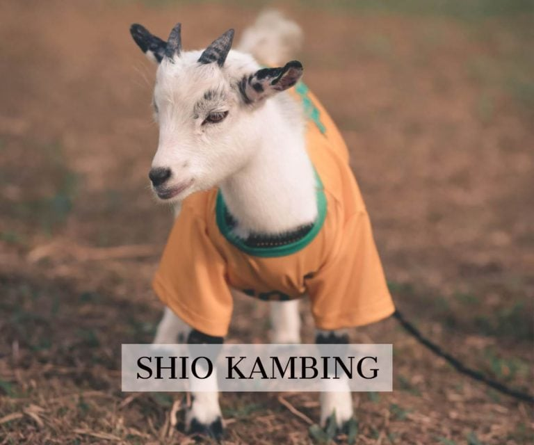 prediksi shio kambing