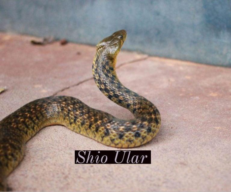 prediksi shio ular